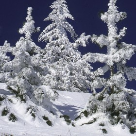 Snowy conifers